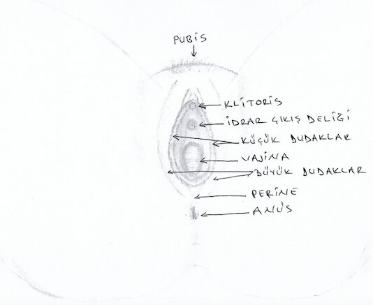 genital bölge anatomisi çizimi